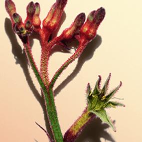 Kwiat 'Kangurza łapa'
