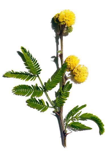 Kwiat Cassia