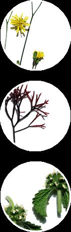 Extraits de Lampsane, Furcellaria et Marrube