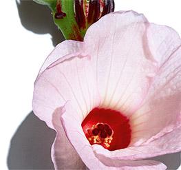 Kwas z kwiatów hibiskusa