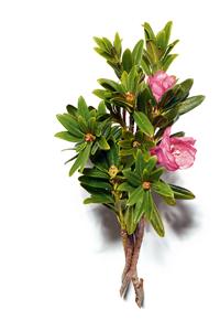różanecznik alpejski