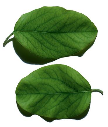 Składnik z liści pigwy