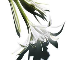 Składnik lilii morskiej
