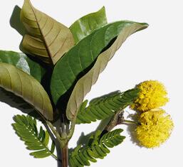 Organiczna haronga i i kwiat akacji