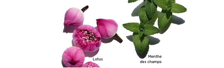 Kwiat Lotusu, stokrotka i mięta polna