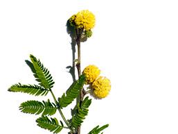 Składnik kwiatu Cassia