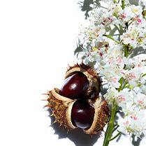 Escyna z kwiatów kasztanowca