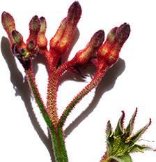 Kwiat kangurzej łapy