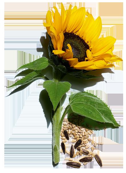 Słonecznik i pestki słonecznika